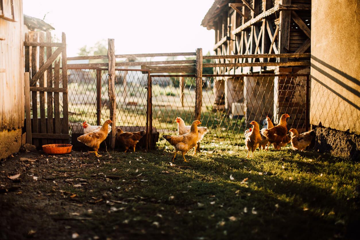 la solution contre les affections des poules